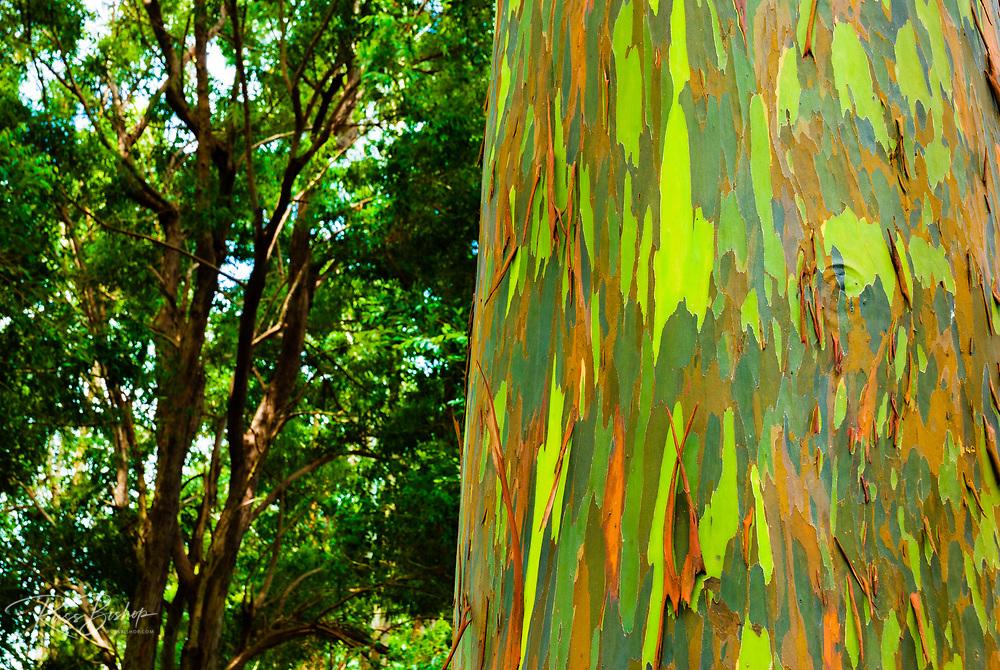 Rainbow Eucalyptus bark (Eucalyptus deglupta - Mindanao Gum), Island of Kauai, Hawaii USA
