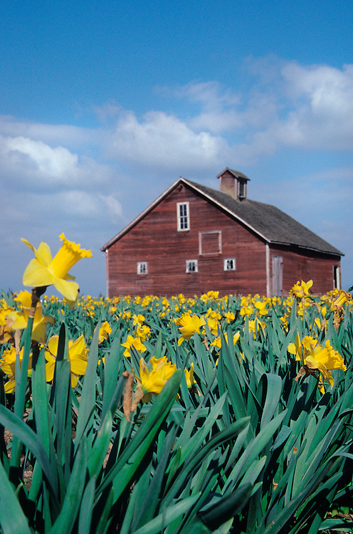 North America, USA, Washington, Skagit Valley. Field of yellow tulips with red barn