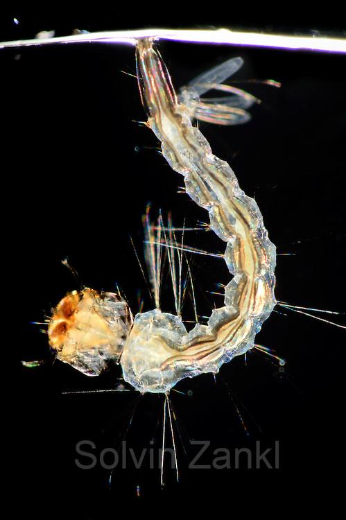 Larva Yellow fever mosquito (Aedes aegypti) is the vector for transmitting Zika virus, yellow fever virus and dengue fever.   Bernhard Nocht Institute for Tropical Medicine; (BNI). Hamburg, Germany | Larve der Gelbfiebermücke (Aedes aegypti). Die Gelbfiebermücke (Aedes aegypti) kann unterschiedliche Viruserkrankungen übertragen, darunter Gelbfieber, Dengue-Fieber und Zika-Fieber. Sie wird auch Denguemücke oder Ägyptische Tigermücke genannt. Die Stechmücke kommt nur in den Tropen und Subtropen vor. Bernhard-Nocht-Institut für Tropenmedizin, Hamburg, Deutschland