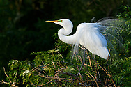 Great Egret in his breeding plumage