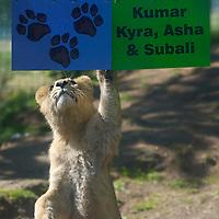 Edinburgh 2nd May 2007, Kumar,Kyra, Asha and Subaly four cub lions clebrated their first birthday at Edinburgh Zoo
