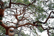 old Japanese red pine tree with twisted branches