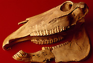 Studies show that the horse was first domesticated in Kazakhstan.  This horse skull, discovered in the north byu professor Victor Zaibert in 1986, shows the wear of a bridle on the teeth.  Carbon-14 testing puts it ace at 5,000 years.  Thousands of additional articfacts found over a 15 year excavation period at Botai settlement site along the iman-Burluk river in the Atyrausky district further substantiate this fact.  North Kazakhstan Regional Historical museum, Petropavl.