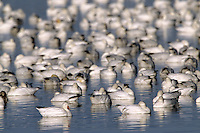 Snow geese, with a few Ross's Geese (Chen rossii) mixed in, on Tule Lake.