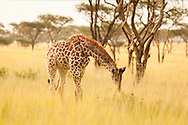 In the giraffe's world tall grass is paradise
