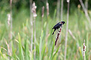 Male Red-winged Blackbird (Agelalus phoeniceus) in the Rushes at Elgin Heritage Park in Surrey, British Columbia, Canada