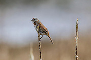 A Song Sparrow (Melospiza melodia) rests on cattails in the Edmonds Marsh in Snohomish County, Washington. This Song Sparrow displays the Pacific Northwest coloration, which is darker than the eastern form.