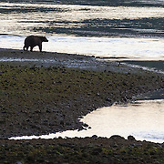 Black bear searches for salmon at dusk. Vancouver Island.