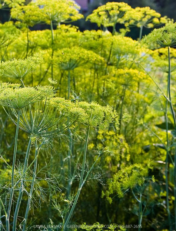 Yellow dill flowers (Anethum graveolens)