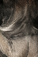Gorilla, Western Lowland Gorilla (Gorilla gorilla gorilla) ..Back of an adult male gorilla (silverback). Gorilla older men are characterized by a silver staining of the back, sometimes up to the thighs. Gorillas are the largest and heaviest living primates. There is a pronounced sexual dimorphism in terms of weight. A silverback can outdoors up to 270 kg body weight, in captivity up to 350 kg. The females reach only 70-90 kg body weight. ....Gorilla, Westlicher Flachlandgorilla (Gorilla gorilla gorilla)..Rücken eines adulten Gorilla-Mannes (Silberrücken). Ältere Gorilla-Männer sind durch eine Silberfärbung des Rückens, z.T. bis zu den Oberschenkeln, gekennzeichnet. Gorillas sind die größten und schwersten lebenden Primaten. Es gibt einen ausgeprägten Geschlechtsdimorphismus. Ein Silberrücken kann im Freiland bis zu 270 kg wiegen, in Gefangenschaft bis zu 350 kg. Die Weibchen erreichen nur 70-90 Kilogramm Körpergewicht. ..