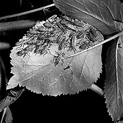 Largid bugs, Stenomacra cliens, selenium toned gelatin silver print