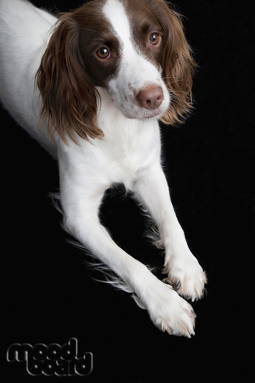 English Springer Spaniel elevated view
