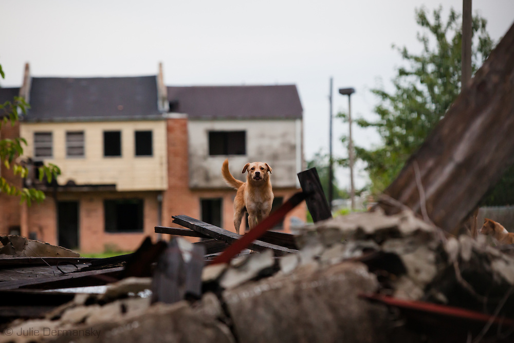 Wild dog at Press Park, an blighted housing comples left in ruins since Hurricane Katirna,