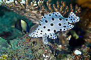 The young have a white background with round black spots and usually attempt to swim continuously with their head facing the seafloor (head down).  The spots on the body are to help disguise the eye from predators