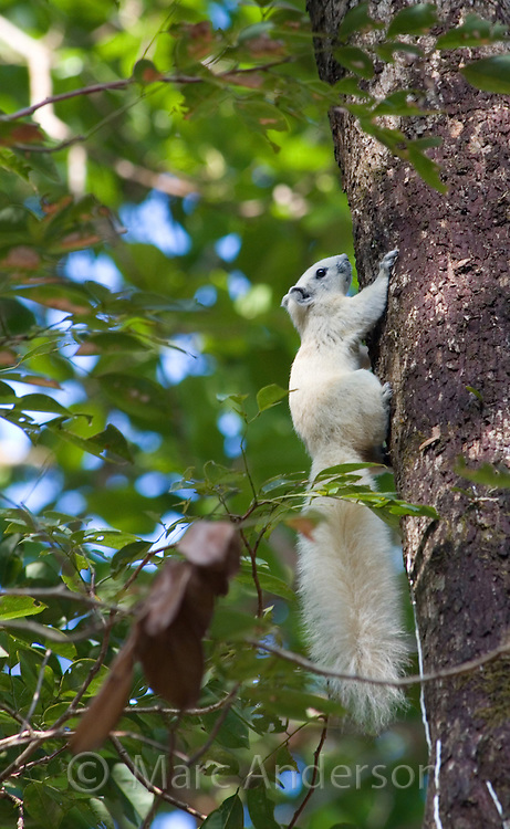 Finlayson's or Variable Squirrel (Callosciurus finlaysonii) in white form, Thung Salaeng Luang National Park, Thailand