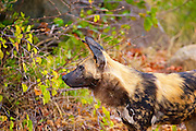African Wild Dog is a highly successful hunter, with the majority of its chases ending in kills. It preys mainly on medium-sized ungulates, though it will take other prey such as ostriches. The African Wild Dog is found in various open habitats across sub-Saharan Africa, though its range has been greatly reduced. It requires large territories for its survival, a factor which creates challenges for its conservation.