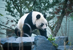 Tian Tian, Edinburgh Zoo's female panda bear, looks out from her enclosure, as she was introduced to the British public on Friday 16 December.