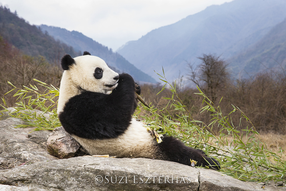 Giant Panda<br /> Ailuropoda melanoleuca<br /> Shenshuping Panda Base, Wolong Nature Reserve, China<br /> *captive