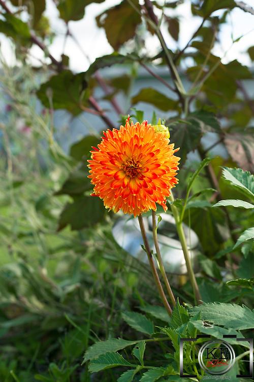 Her name is D - A - H - L - iii  D-a-h-l-i-a [Dahlia!] I'm gonna shout it every day! [Dahlia!]<br /> ...It's a Dahlia flower.