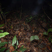 A well-camouflaged Reticulated Python (Malayopython reticulatus) in ambush on the forest floor, in situ, in Khao Phra Thaeo Wildlife Sanctuary, Thailand