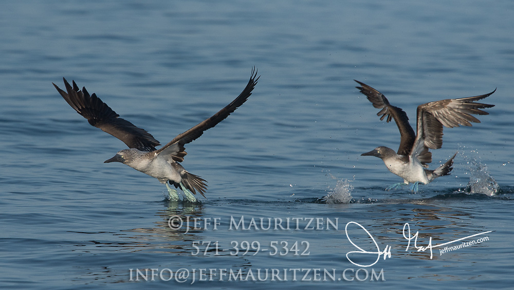 A pair of Blue-footed boobies take flight after diving into the ocean.
