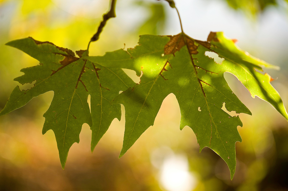 Greece, Meteora, Leaves of Platan tree, Oriental Plane, (Platanus orientalis)