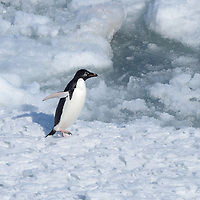 An Adelie Penguin in McMurdo Sound, Antarctica.