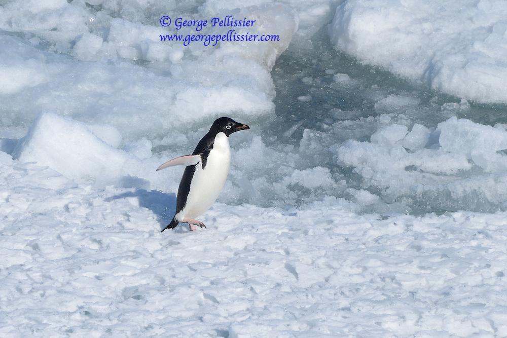 An Adelie Penguin in McMurdo Sound, Antarctica.