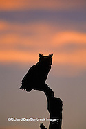 01116-03816 Great Horned Owl (Bubo virginianus)  silhouette at sunset   CO
