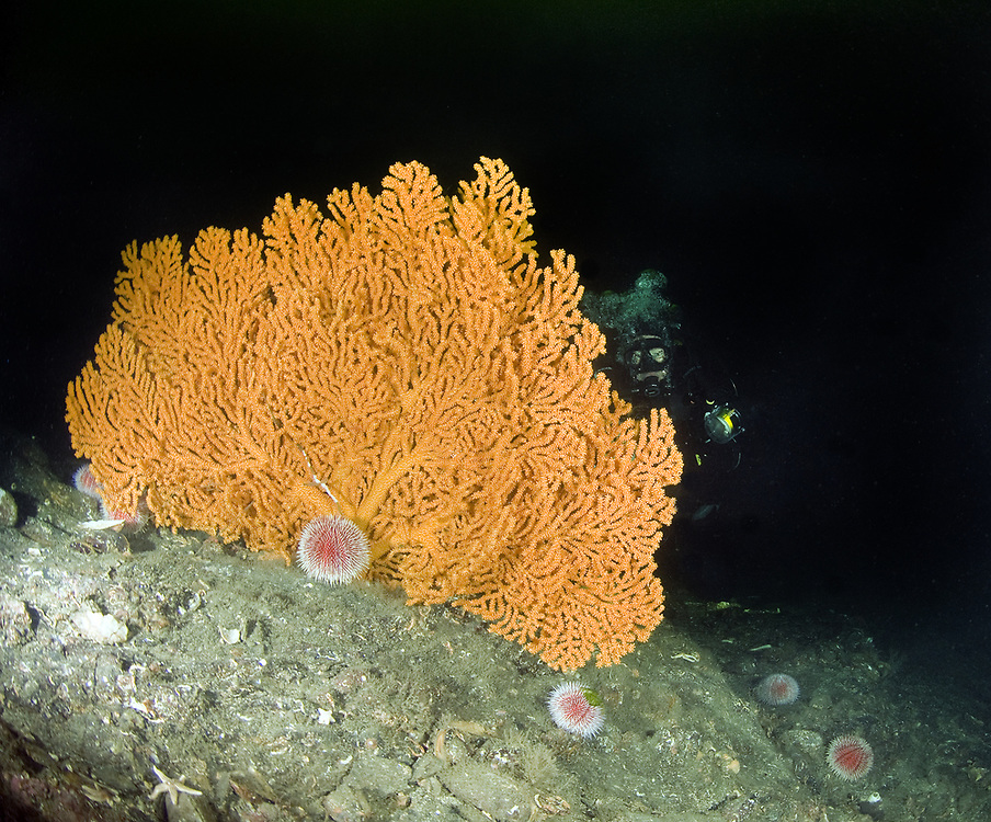 Sea Fan (Paramuricea placomus).   Location: Trondheimsfjorden, Norway