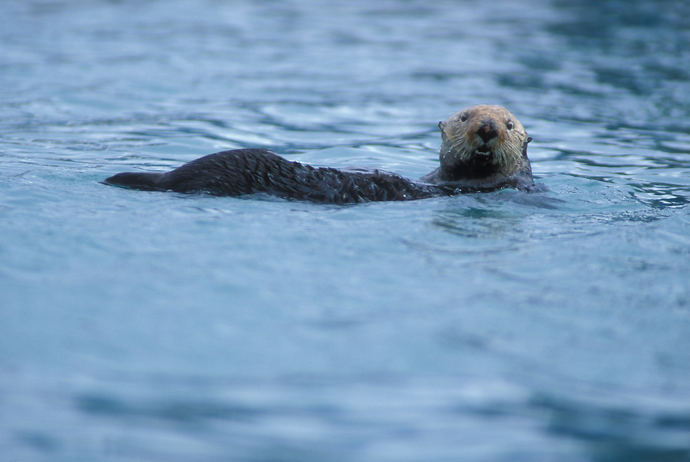 USA, Alaska, Kenai Fjord National Park, Sea Otter (Enhydra lutris) swimming in Resurrection Bay