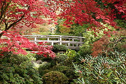 Autumn brings changing color and vibrant red Japanese maples to the Moon Bridge area of the Strolling Pond garden at Portland's famous Japanese Tea Garden. (Colors are accurate; not enhanced in Photoshop).