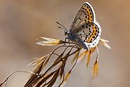 Plebejus melissa inyoensis - Melissa Blue