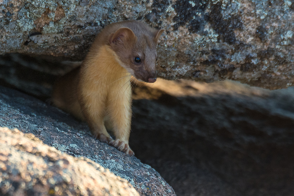 Long-tailed weasel, summer molt, photographed in the foothills above Boulder, Colorado