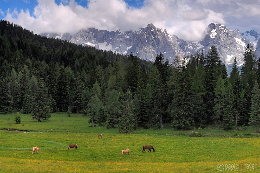 Pasture in the Dolomites, Misurina, herd of wild horses grazing in a field of wildflowers at the feet of the Sorapiss group, massif of the Dolomiti di Sesto, at the border between Veneto and the province of Alto Adige/Sud Tirol,