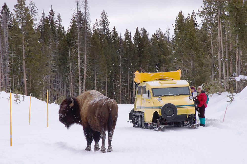 Winter visitors and Bombardier snow coach with Bison on the road; Yellowstone National Park, Wyoming.