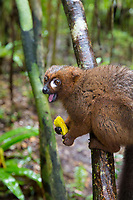 Lemur eating a fruit. Magical Madagascar photo tour. Wildlife photography wall art for sale.