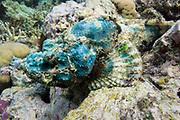Green smallscale scorpionfish (Scorpaenopsis oxycephalus) on tropical coral reef - Agincourt reef, Great Barrier Reef, Queensland, Australia.