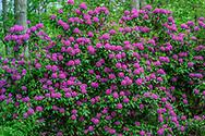 2301 Deerfield Rd, Sag Harbor, NY Rhododendron, Sag Harbor, NY