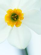 Narcissus 'Arguros' - daffodil