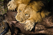 Adult male African Lion (Panthera leo) choking a female adult African Buffalo (Syncerus caffer)