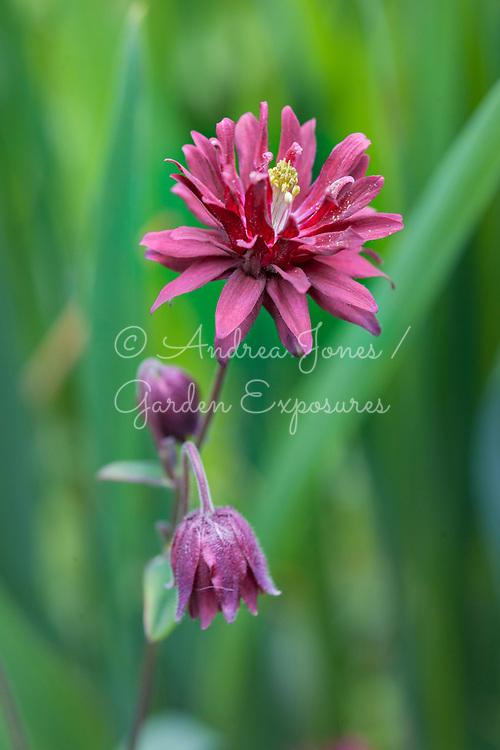 Aquilegia vulgaris var. stellata 'Ruby Port' (granny's bonnet)<br /> <br /> Binny Plants, West Lothian, Scotland