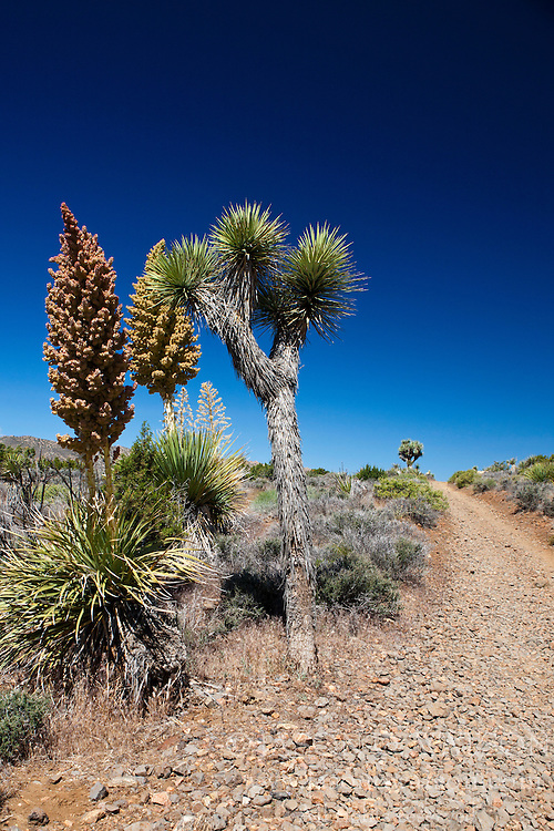 Joshua Tree (Yucca brevifolia) and blooming Mojave yucca plants (Yucca schidigera) along a hiking trail, Joshua Tree National Park, California, United States of America