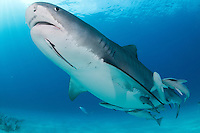 A large Tiger Shark with a full complement of Remoras attached, passes overhead<br /> <br /> Shot in Bahamas