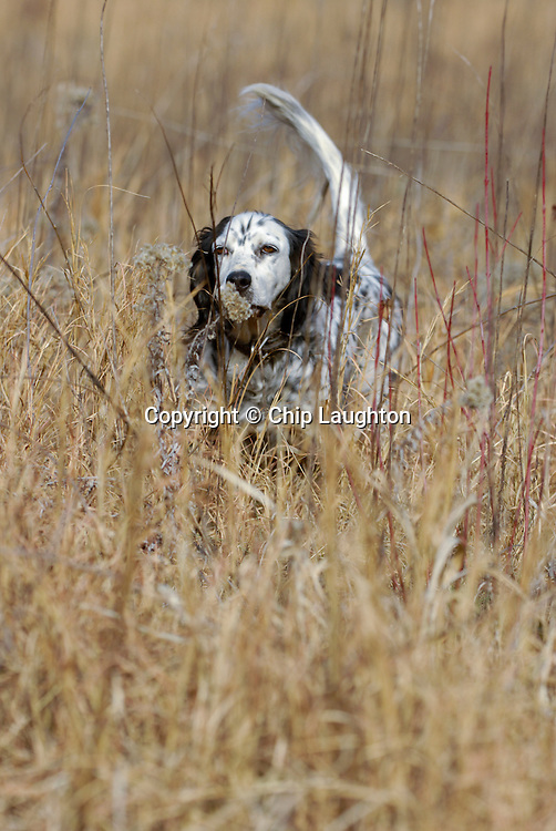 ENGLISH SETTER DOG STOCK PHOTO IMAGE