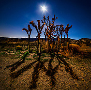 March 30, 2018 - Charred Yucca trees off Highway 138 at night with moonrise in Phelan, CA.