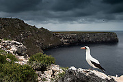 Nazca Booby (formerly Masked booby) (Sula granti)<br /> Wolf Island<br /> Galapagos Islands<br /> ECUADOR.  South America<br /> They are intermediate between the blue-footed and red-footed booby. They are also plunge-divers but feed further afield than the blue-foots in the inter-island area. They have fewer large colonies but are widespread throughout the archipelago. Sexes are simular and like the blue-foots, nest on the ground. Usually their nests are near cliff edges. Although they lay 2 eggs they only ever raise one chick. The healthier chick pushed the other out of the guano ring - representing the nest. The parents ignore the battle known as 'obligate sibling murder' and leave the chick to its fate.