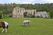 Horses are grazing in front of Rievaulx Abbey, Yorkshire, England, United Kingdom.