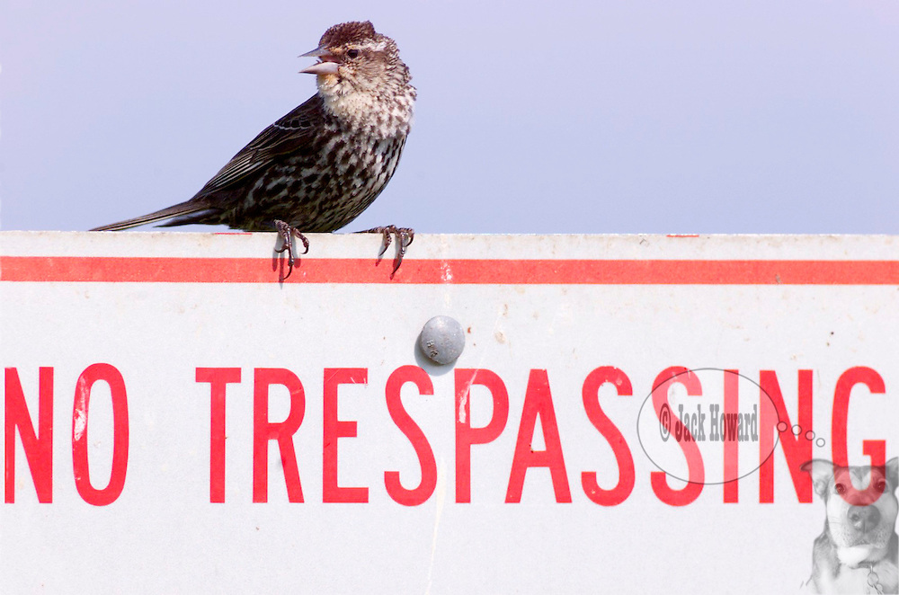 "June 2000 - A female redwing blackbird sits atop a ""No Trespassing"" sign at Lake Como, South Belmar, NJ"