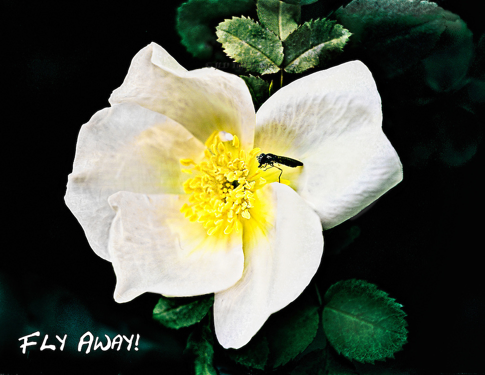 Single fly investigates a white wild rose in Monet's garden at Giverny.